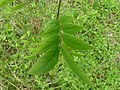 Senna occidentalis leaf 1.jpg