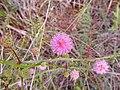 Sensitive Brier (Mimosa quadrivalvis) (43865351812).jpg