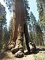 Sequoia P4250914.jpg