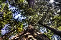 Sequoia grove from the bottom.jpg