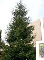 Sequoia sempervirens3.jpg