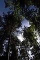 Sequoie a Vallinfreda luceombra 02.jpg