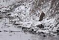 Short-eared Owl (45143619864).jpg