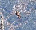 Short-toed Eagle . Circaetus gallicus (32333773753).jpg