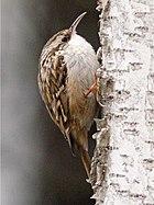 Short-toed Treecreeper (Certhia brachydactyla) (cropped version).jpg