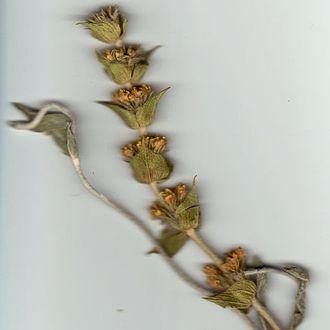 Sideritis - Sideritis syriaca (Ironwort)