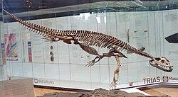 Simosaurus gaillardoti 1.JPG