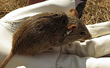 Single-striped grass mouse.jpg