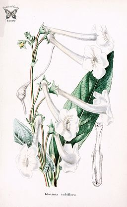 Sinningia tubiflora illustration