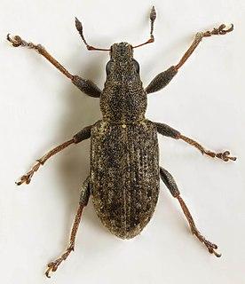 <i>Sitona cylindricollis</i> Species of beetle
