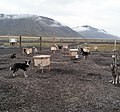 Sled Dogs in Svalbard (2003) 02.jpg