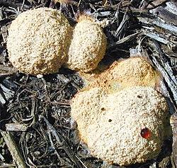 Slimdyr på træstykker(sandsynligvis Fuligo sp.)