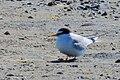 Småtärna Little Tern (14474325825).jpg