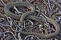 Smooth Snake (Coronella austriaca) (7159868749).jpg