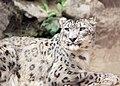 Snow leopard1220.jpg