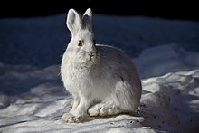 A snowshoe hare sitting on snow