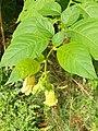 Solanales - Atropa bella-donna - 3.jpg