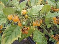 Solanum villosum 01-10-2005 11.10.56