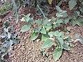 Solanum villosum subsp. alatum sl52.jpg