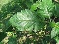 Sorbus borbasii (leaf).jpg