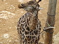South African Giraffe 10.jpg