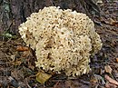 Sparassis crispa fungus, Woodfidley, New Forest - geograph.org.uk - 261244.jpg