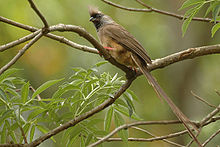 Speckled mousebird.jpg