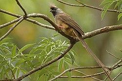 Speckled mousebird.jpg