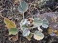 Sphaeralcea munroana (3940130766).jpg