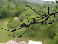 A golden silk orb-weaver (Nephila clavipes?), member of the family Tetragnathidae