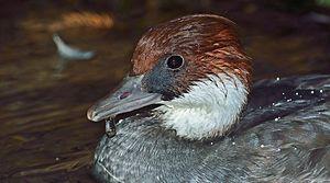 Smew - Mergellus albellus female (closeup view).