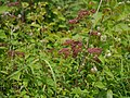 Spiraea canescens (7832641484).jpg