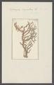Spongia virgultosa - - Print - Iconographia Zoologica - Special Collections University of Amsterdam - UBAINV0274 112 02 0056.tif