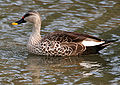 Spot-billed Duck (Anas poecilorhyncha) in Hyderabad W2 IMG 8867.jpg