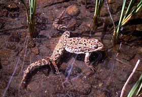 Spotted-frog-yellowstone-16173.jpg