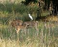 Spotted Deer or Chital, with Cattle Egret - Flickr - gailhampshire.jpg