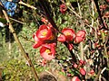 Spring Quince Blooms - panoramio (1).jpg