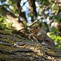 Squirrel, Minneapolis (35826678290).jpg