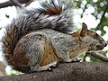 Squirrel at Museum of Anthropology - Mexico City - Mexico (15486506336).jpg