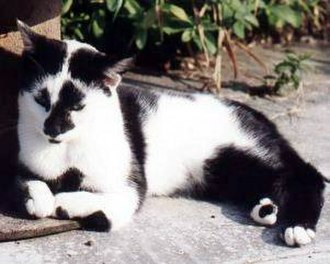 Squitten - A cat with the genetic deformity radial hypoplaisia or radial aplaysia while resting, showing twisted forelimbs