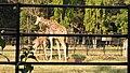 Sri Chamarajendra Zoological Gardens (Mysore Zoo), Image (36), Mysore, Karnataka, India.jpg