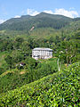 Sri Lanka-Province du Centre-Plantations de thé (4).jpg