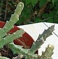 Stapelia variegata tiges.JPG