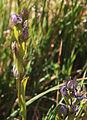 Star felwort Swertia perennis bud spike.jpg