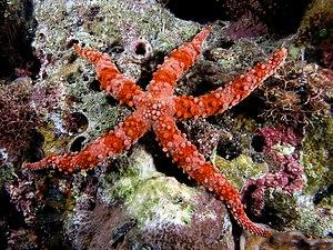 English: Large red starfish Gomphia gomphia fr...
