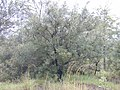 Starr-011205-0116-Grevillea banksii-habit-Hwy11 Kapapala-Hawaii (23915766284).jpg