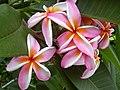 Starr-030612-0096-Plumeria rubra-flowers-Kahului-Maui (24553145281).jpg