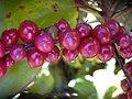 Starr-040509-0002-Cordyline fruticosa-fruit-Makawao-Maui (24584246802).jpg