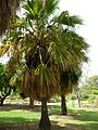 Starr-050407-6263-Pritchardia sp-habit-Maui Nui Botanical Garden-Maui (24116847364).jpg