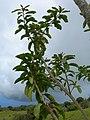 Starr-060429-8009-Charpentiera obovata-leaves-Auwahi-Maui (24744564802).jpg